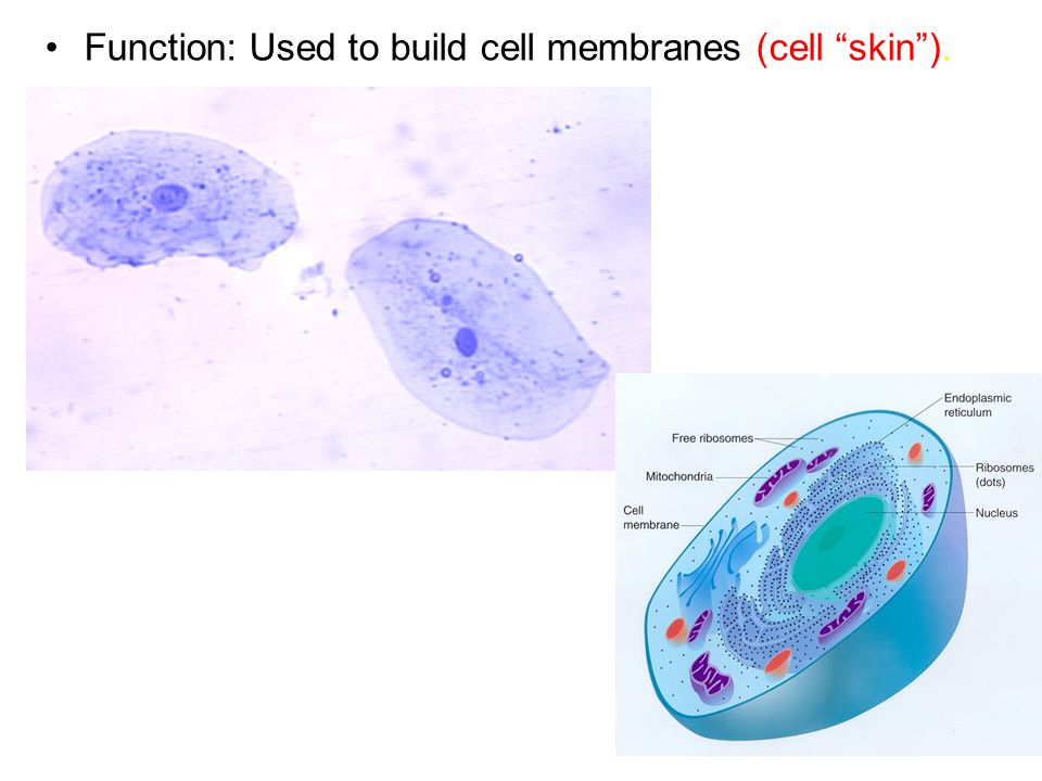 Function: Used to build cell membranes (cell skin ).
