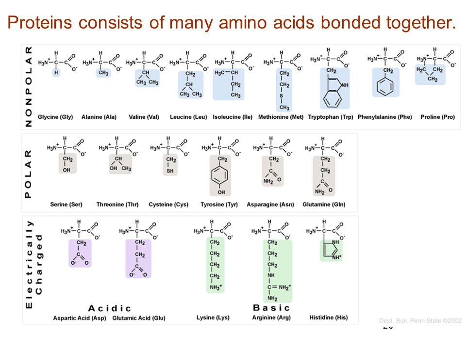 Proteins consists of many amino acids bonded together.