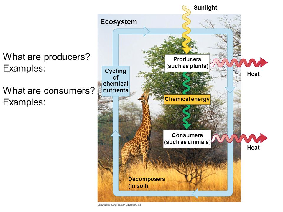 What are producers Examples: What are consumers Ecosystem Sunlight