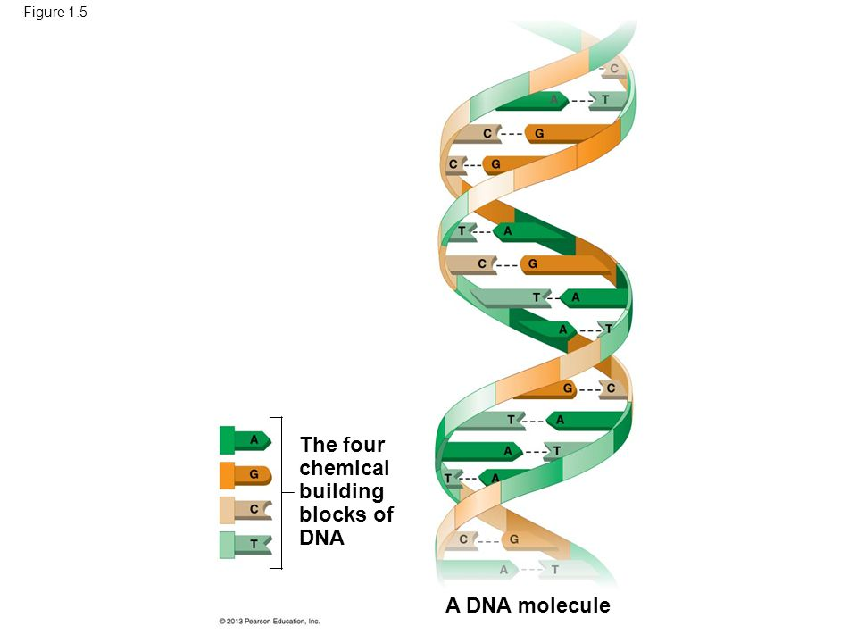 22 The four chemical building blocks of DNA A DNA molecule Figure 1.5