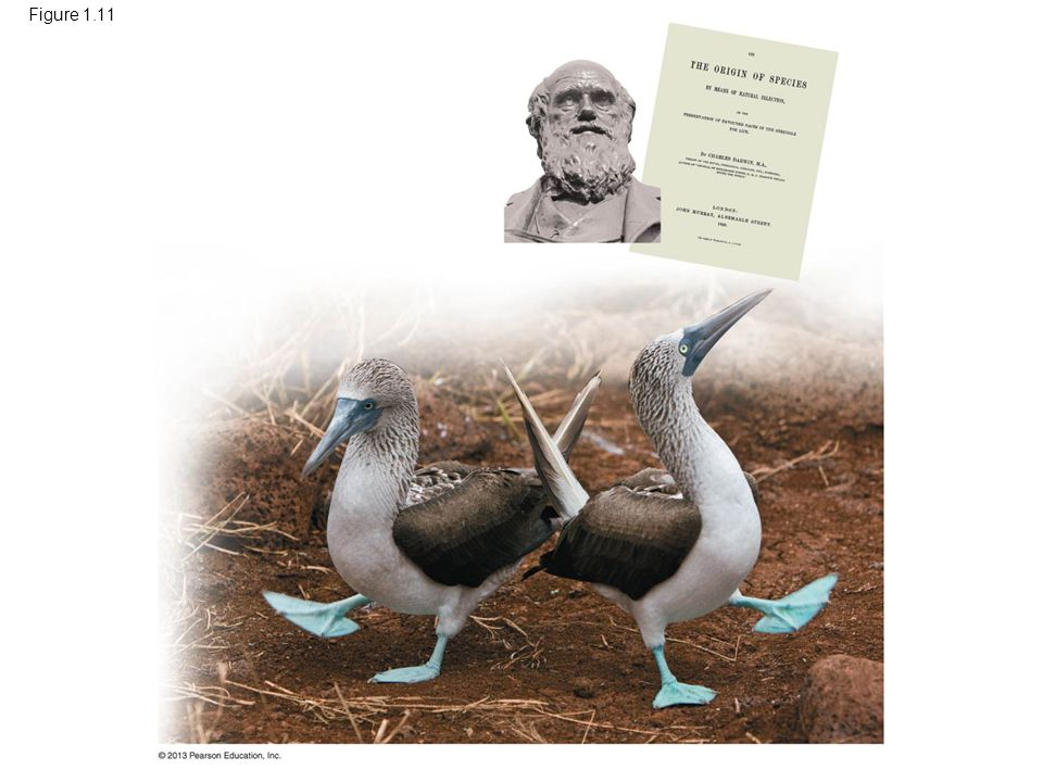 Figure 1.11 Figure 1.11 Charles Darwin (1809–1882), The Origin of Species, and blue-footed boobies on the Galápagos Islands.