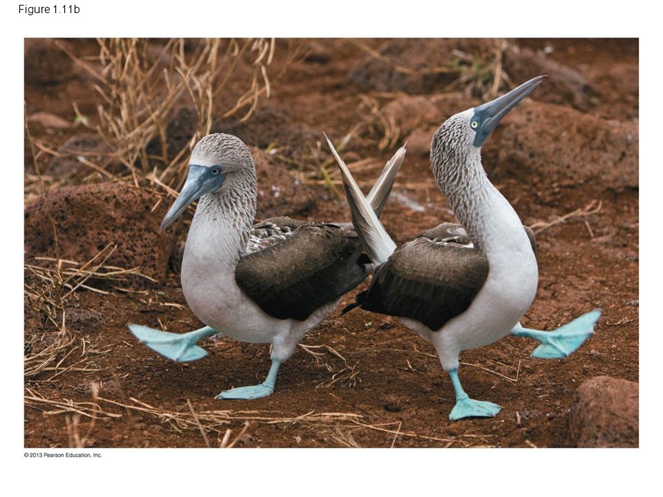 Figure 1.11b Figure 1.11 Charles Darwin (1809–1882), The Origin of Species, and blue-footed boobies on the Galápagos Islands (part 2)