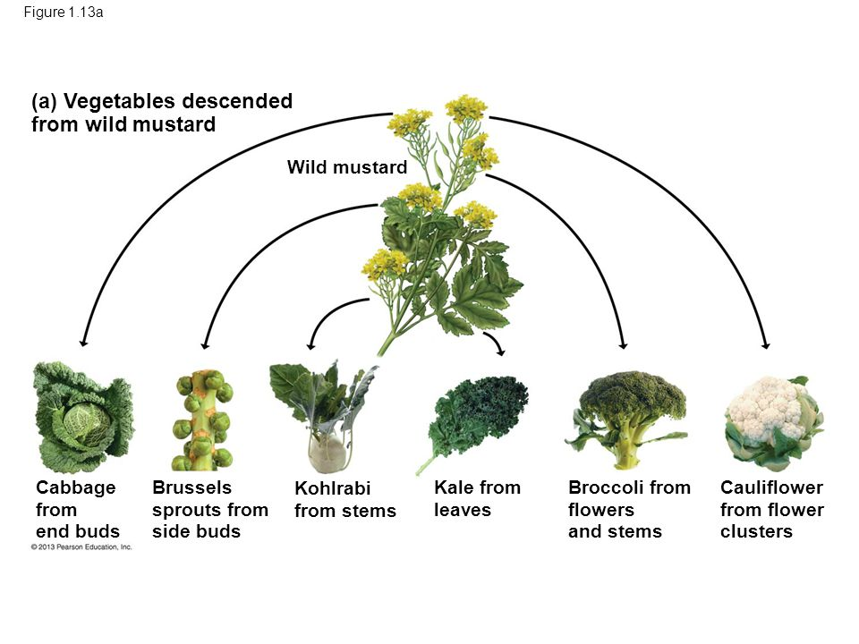 50 (a) Vegetables descended from wild mustard Wild mustard Cabbage