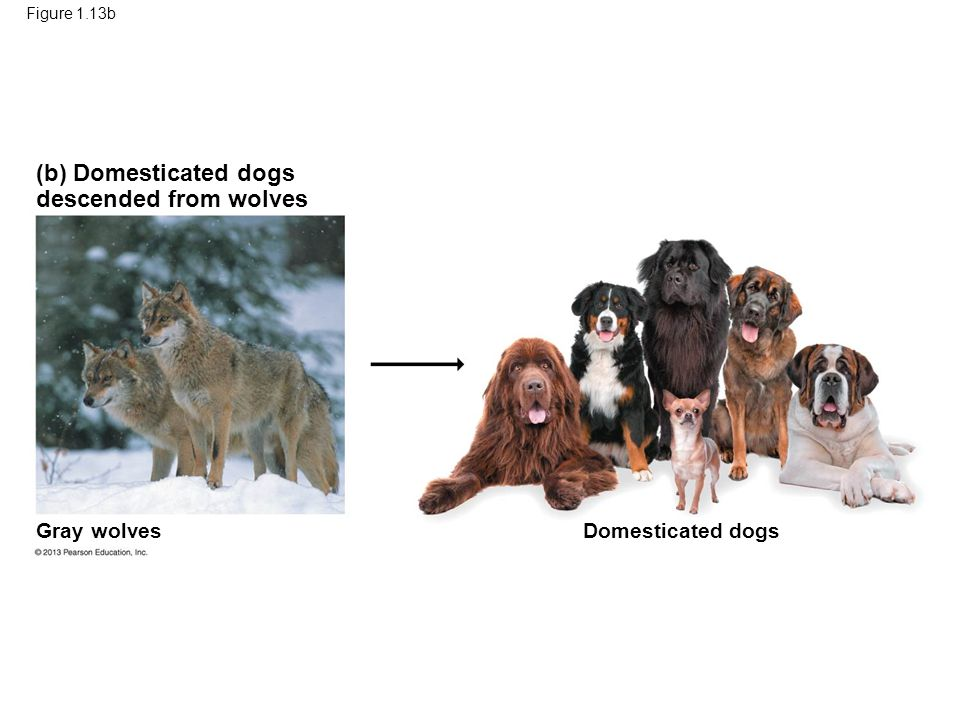 51 (b) Domesticated dogs descended from wolves Gray wolves
