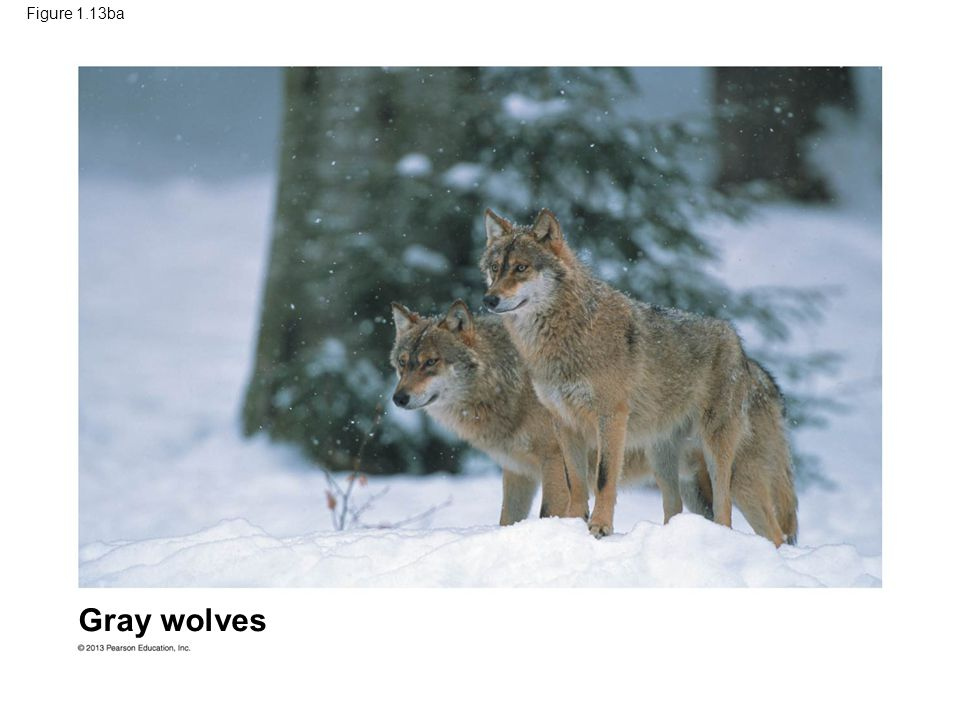 Figure 1.13ba Gray wolves Figure 1.13 Examples of artificial selection (part 3) 52