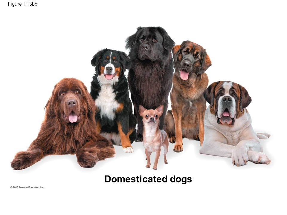 Domesticated dogs 53 Figure 1.13bb