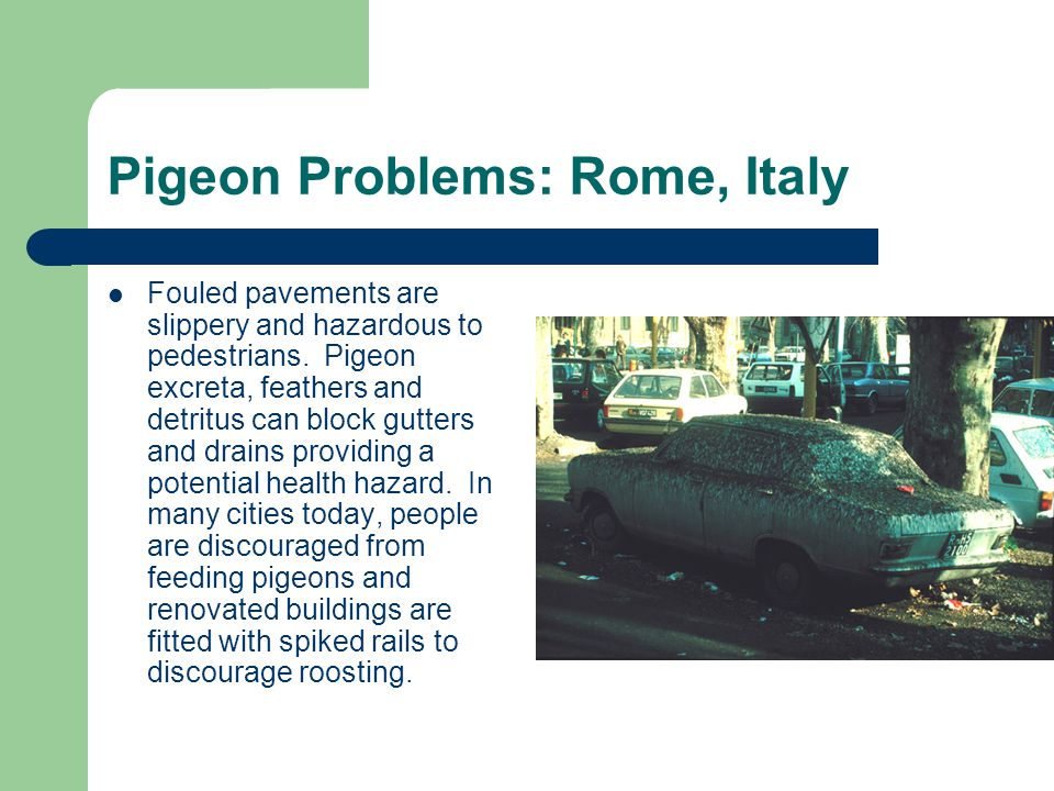Pigeon Problems: Rome, Italy
