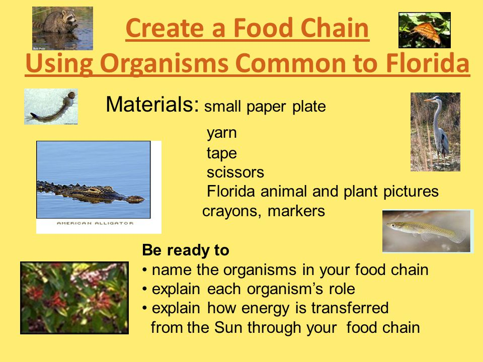 Create a Food Chain Using Organisms Common to Florida