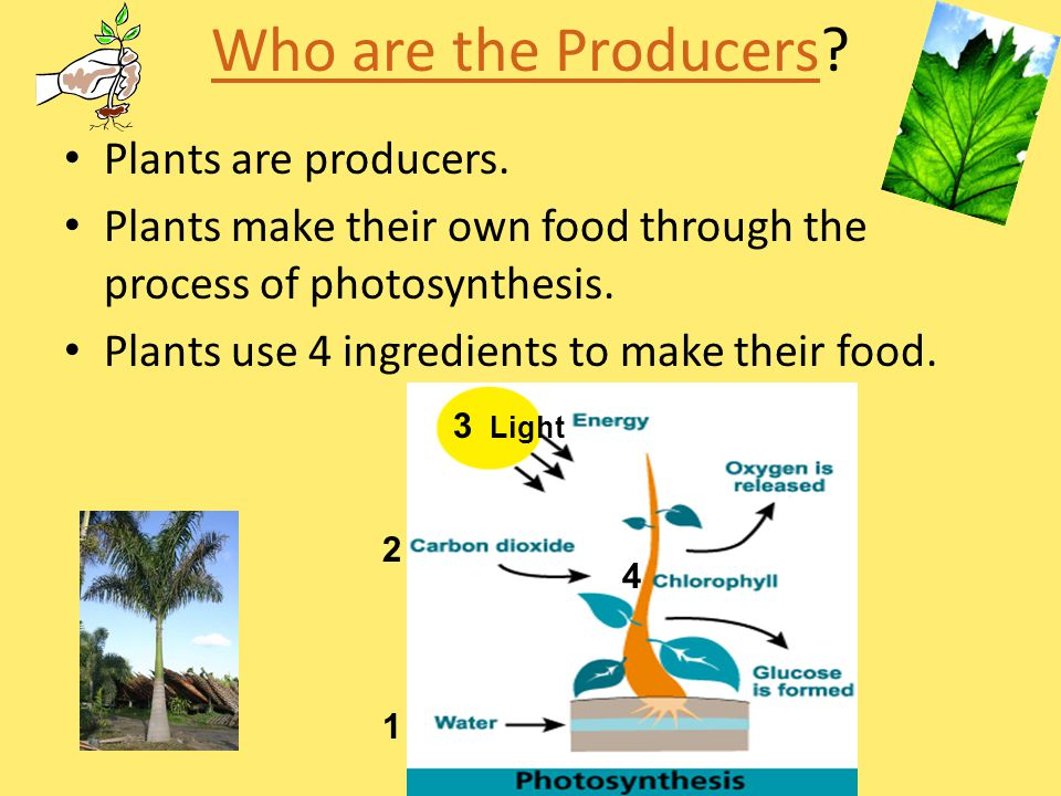 Who are the Producers Plants are producers.