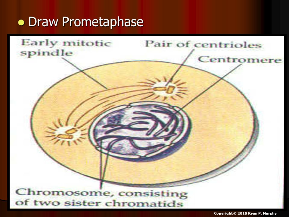 Draw Prometaphase Copyright © 2010 Ryan P. Murphy