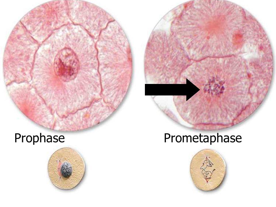 Prophase Prometaphase