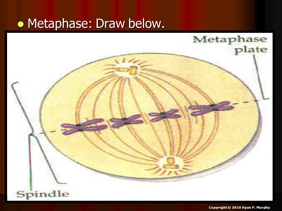 Metaphase: Draw below. Copyright © 2010 Ryan P. Murphy