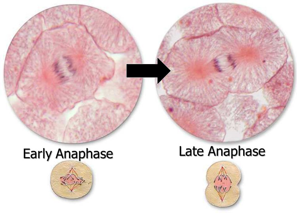 Late Anaphase Early Anaphase