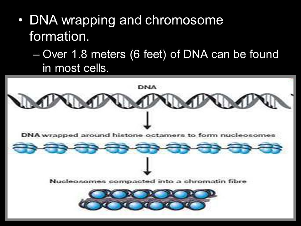 DNA wrapping and chromosome formation.