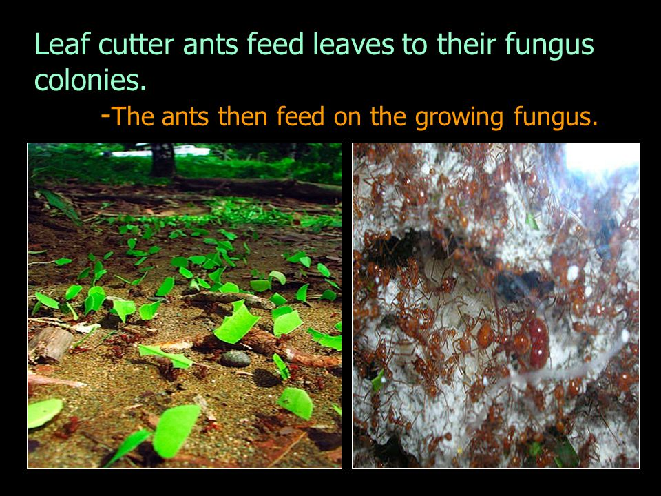 Leaf cutter ants feed leaves to their fungus colonies.
