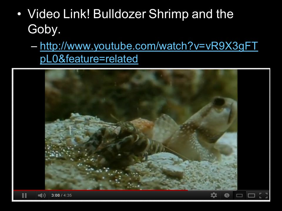 Video Link! Bulldozer Shrimp and the Goby.