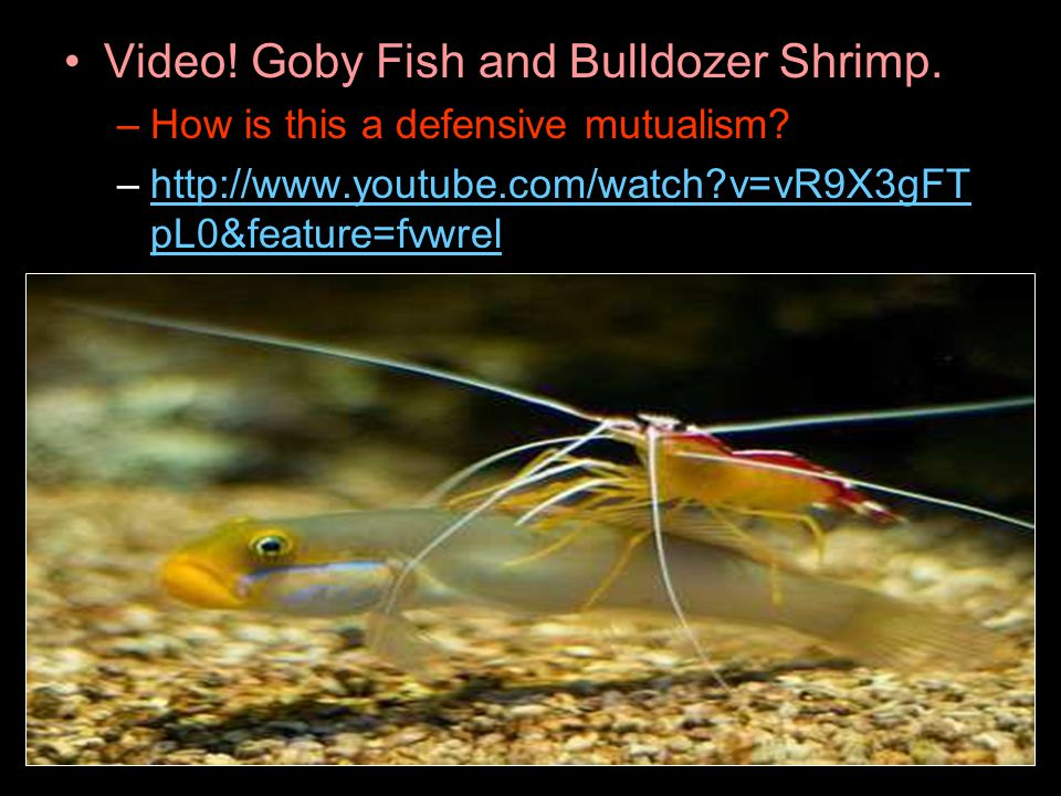 Video! Goby Fish and Bulldozer Shrimp.