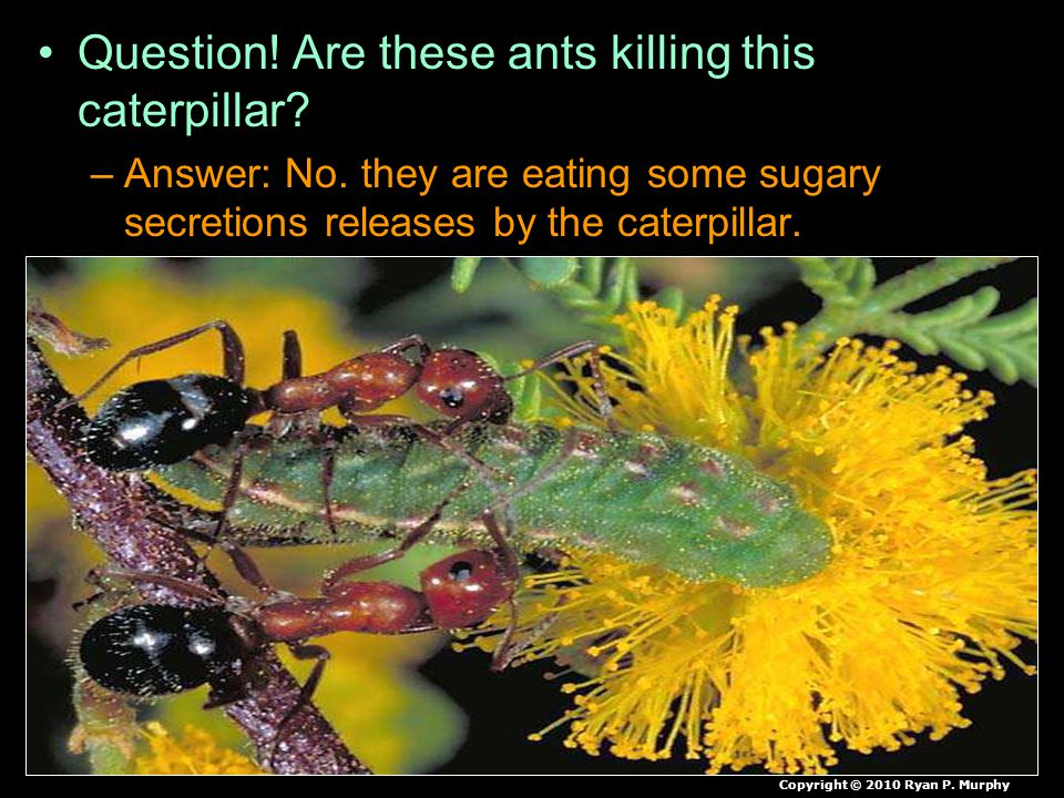 Question! Are these ants killing this caterpillar