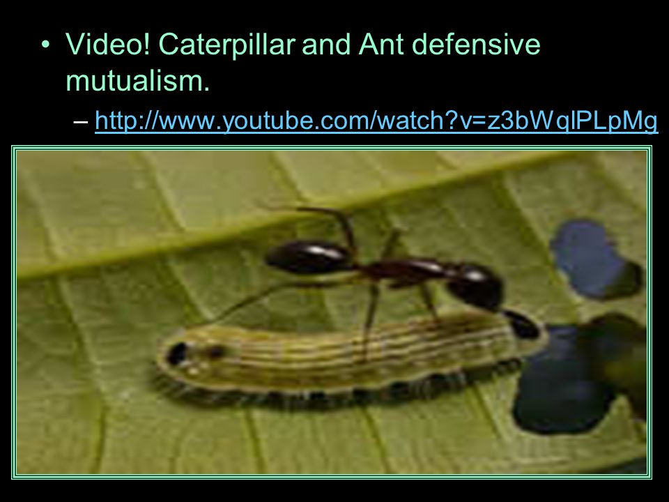 Video! Caterpillar and Ant defensive mutualism.