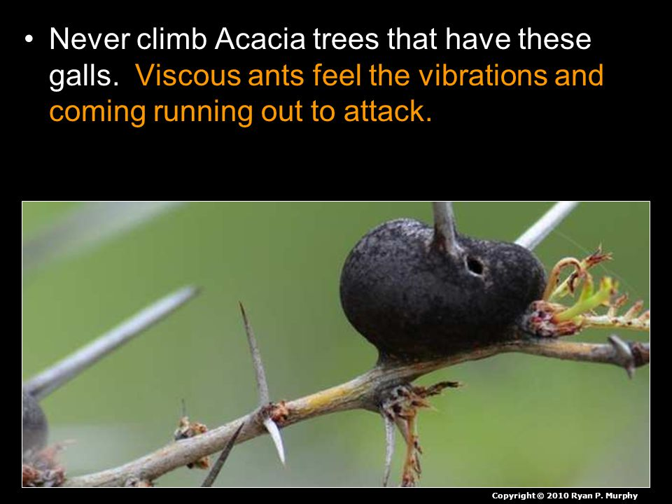 Never climb Acacia trees that have these galls