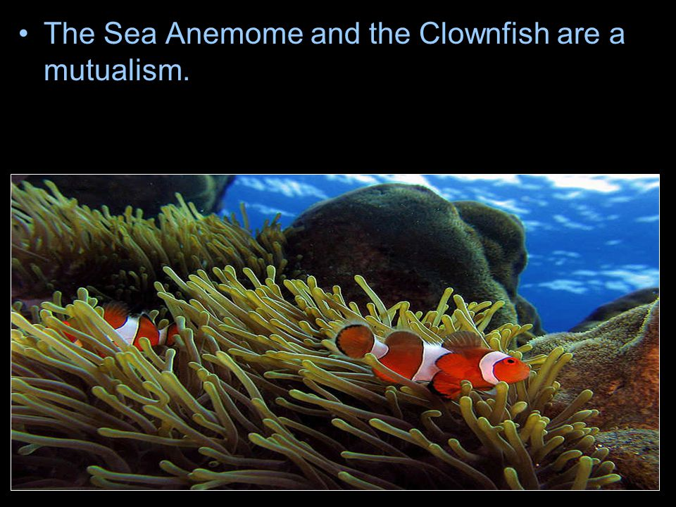 The Sea Anemome and the Clownfish are a mutualism.