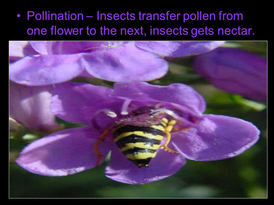 Pollination – Insects transfer pollen from one flower to the next, insects gets nectar.
