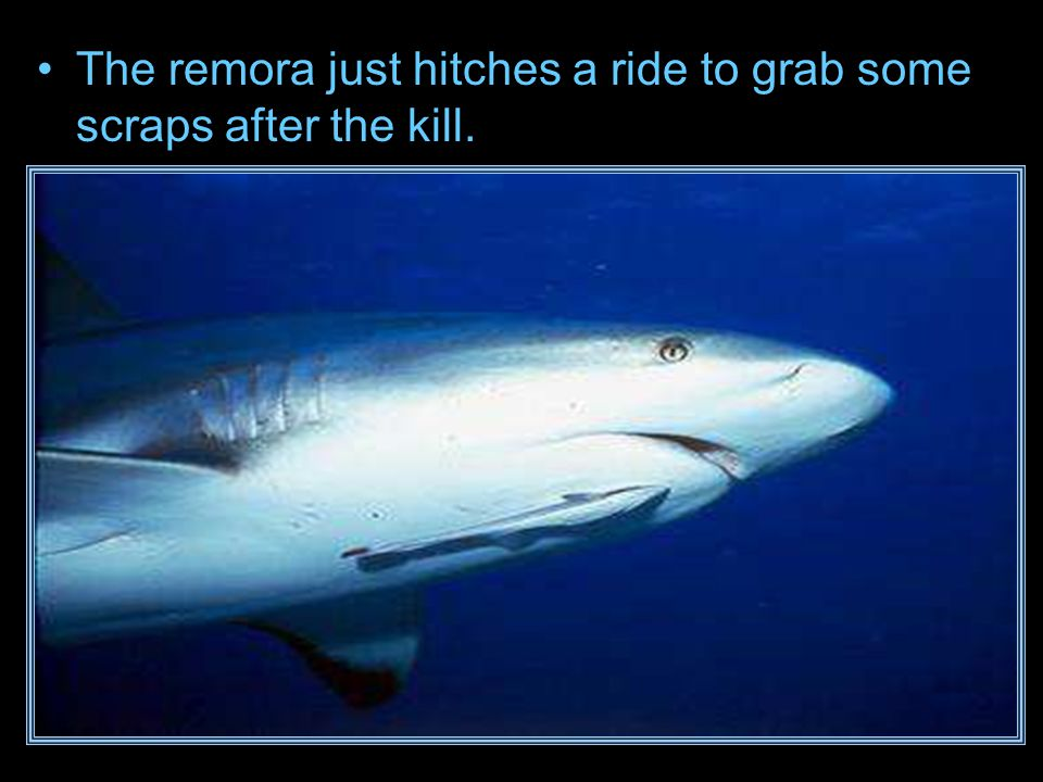 The remora just hitches a ride to grab some scraps after the kill.