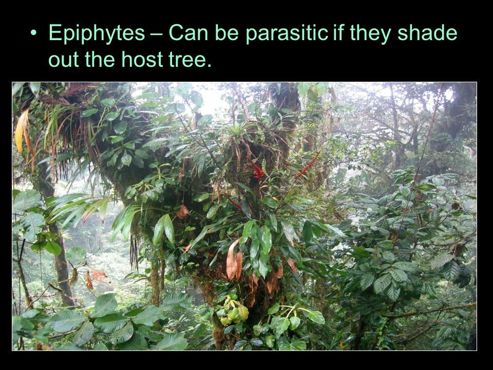 Epiphytes – Can be parasitic if they shade out the host tree.