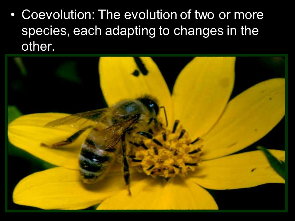Coevolution: The evolution of two or more species, each adapting to changes in the other.