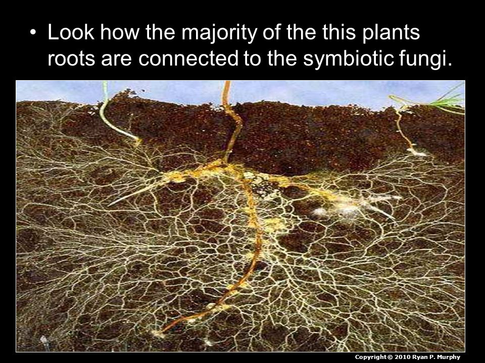 Look how the majority of the this plants roots are connected to the symbiotic fungi.