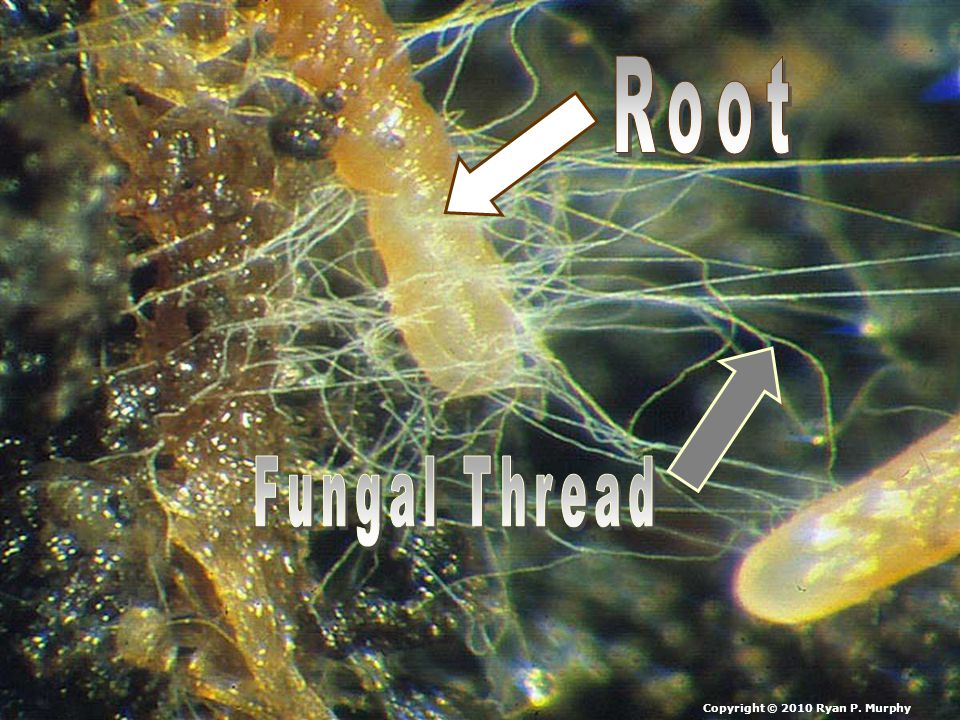 Root Fungal Thread Copyright © 2010 Ryan P. Murphy
