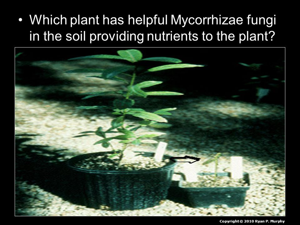 Which plant has helpful Mycorrhizae fungi in the soil providing nutrients to the plant