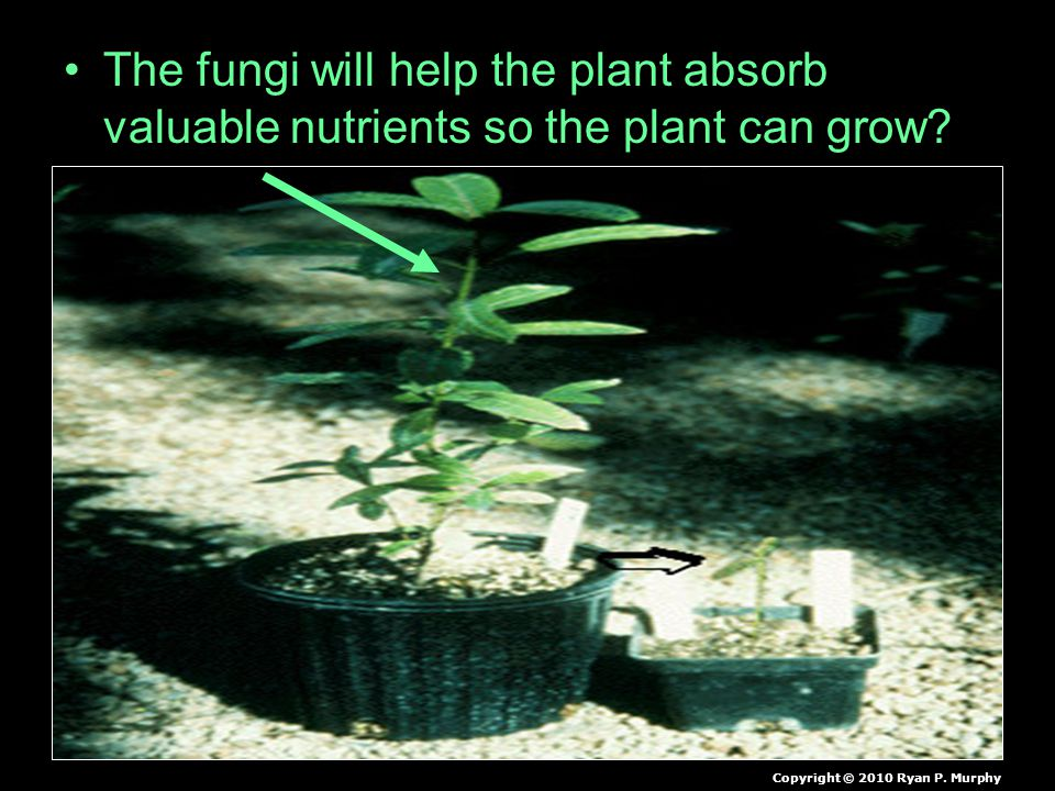 The fungi will help the plant absorb valuable nutrients so the plant can grow