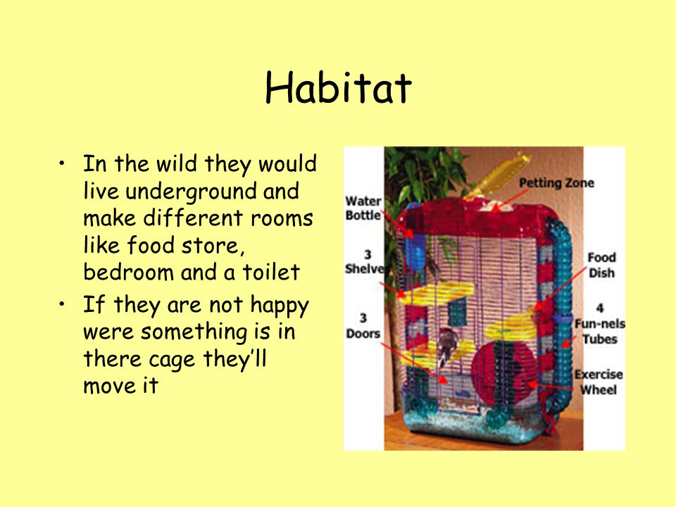 Habitat In the wild they would live underground and make different rooms like food store, bedroom and a toilet.
