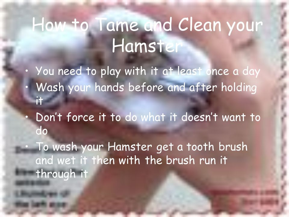 How to Tame and Clean your Hamster