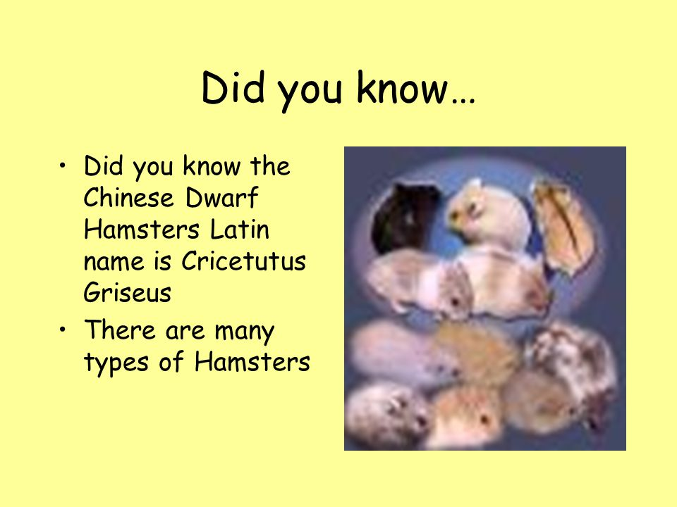 Did you know… Did you know the Chinese Dwarf Hamsters Latin name is Cricetutus Griseus.