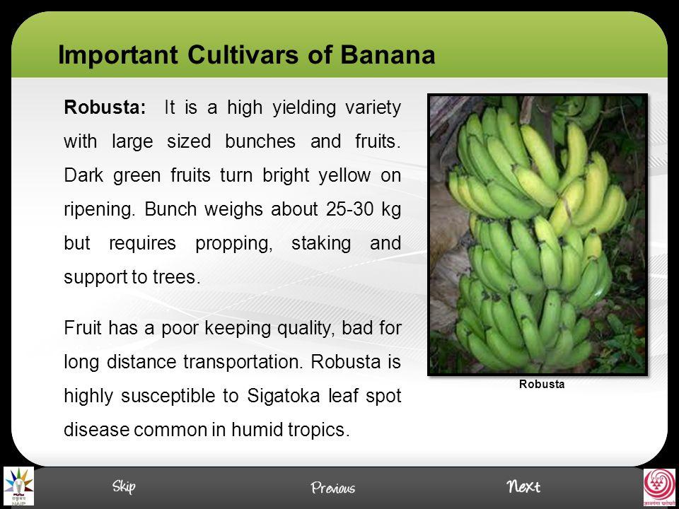 Important Cultivars of Banana