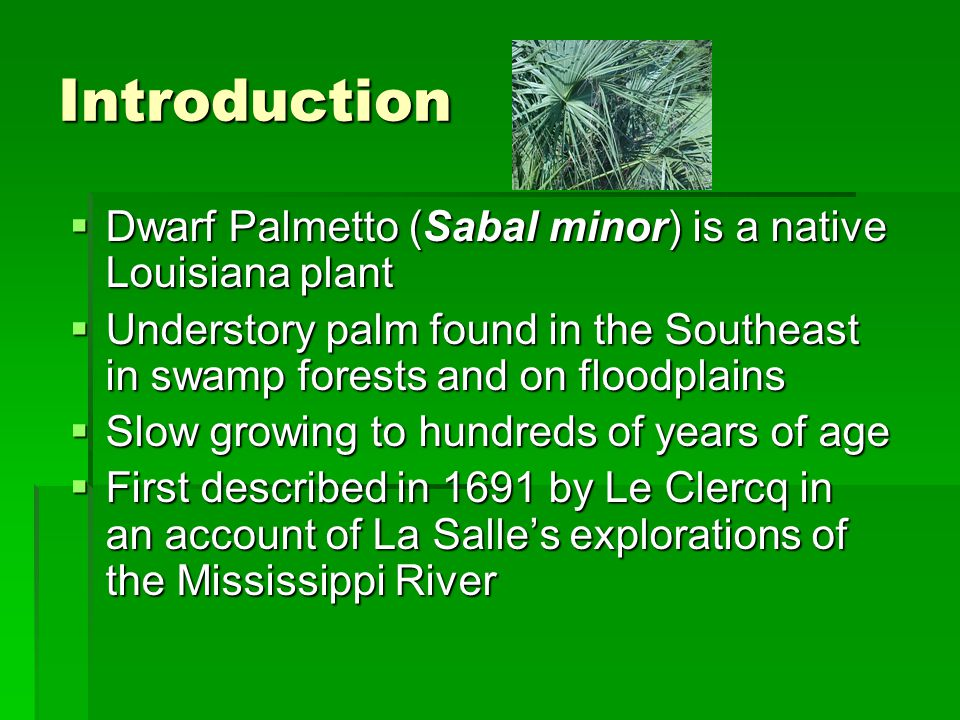 Introduction Dwarf Palmetto (Sabal minor) is a native Louisiana plant