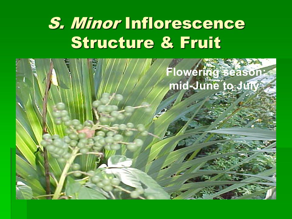 S. Minor Inflorescence Structure & Fruit