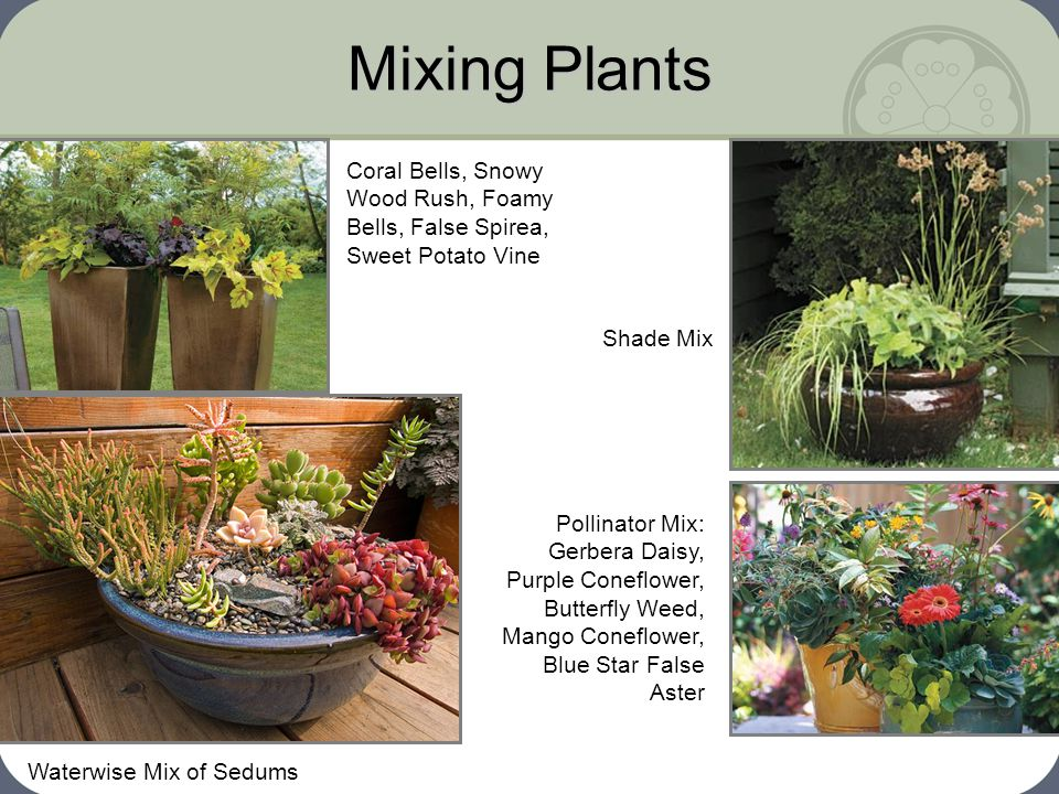 Mixing Plants Coral Bells, Snowy Wood Rush, Foamy Bells, False Spirea, Sweet Potato Vine. Shade Mix.