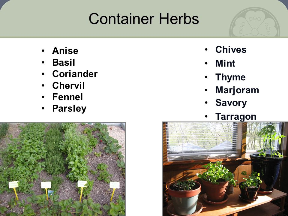Container Herbs Chives Anise Mint Basil Coriander Thyme Chervil