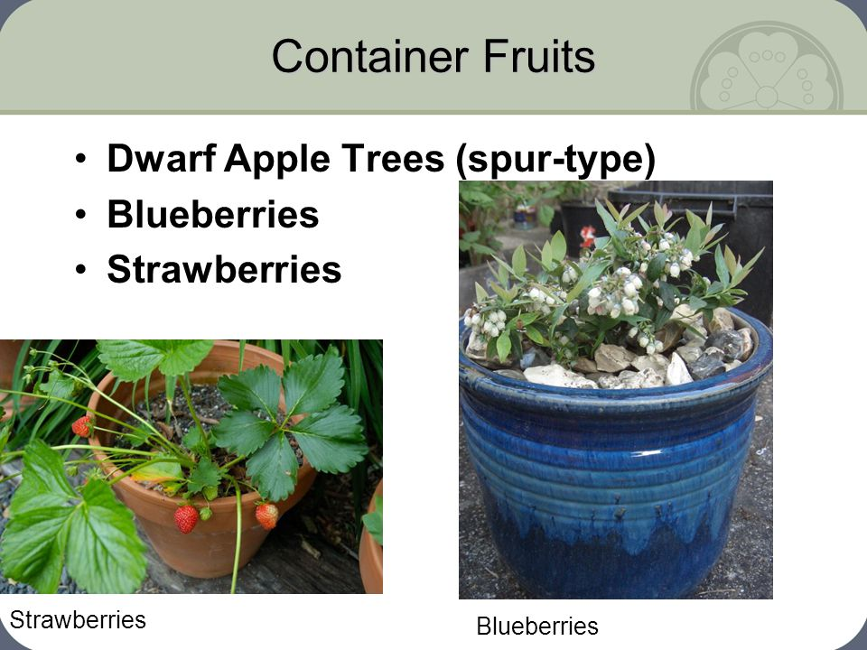 Container Fruits Dwarf Apple Trees (spur-type) Blueberries