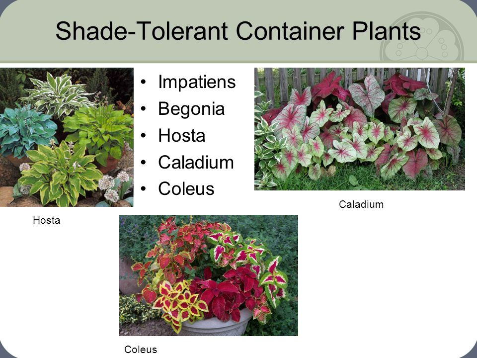 Shade-Tolerant Container Plants