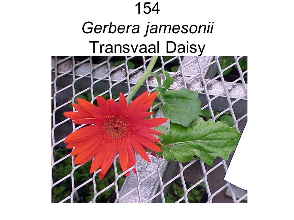 154 Gerbera jamesonii Transvaal Daisy
