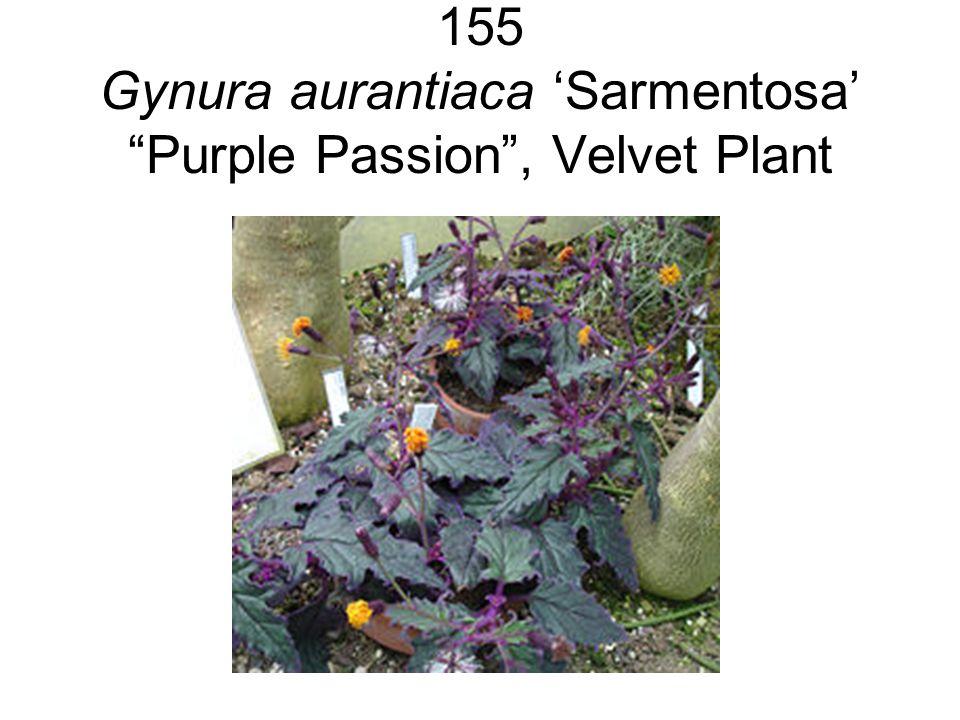 155 Gynura aurantiaca 'Sarmentosa' Purple Passion , Velvet Plant