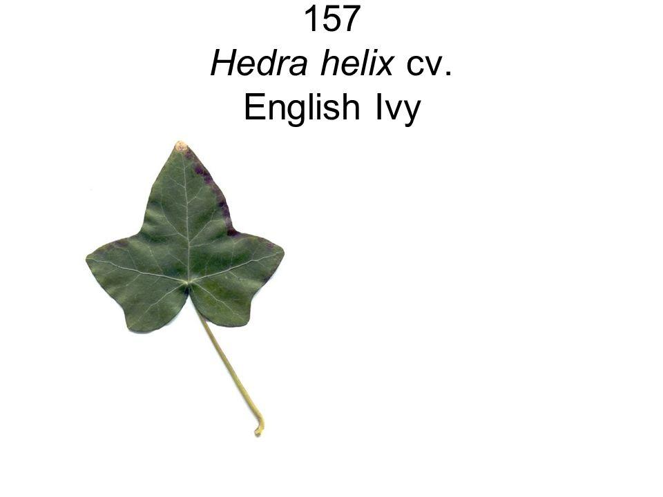 157 Hedra helix cv. English Ivy