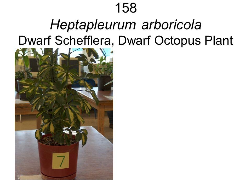 158 Heptapleurum arboricola Dwarf Schefflera, Dwarf Octopus Plant