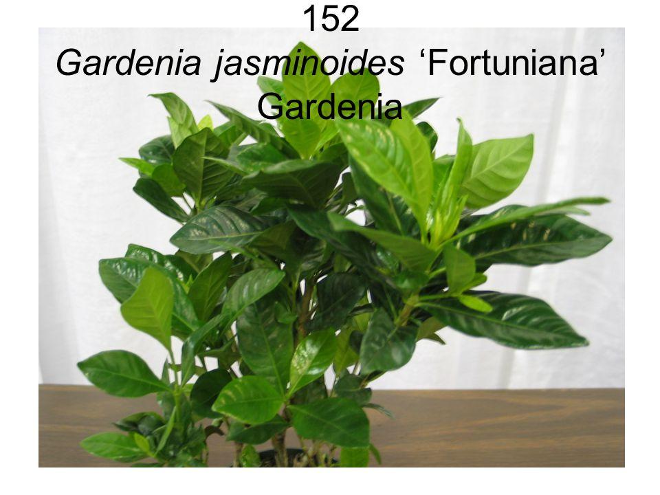 152 Gardenia jasminoides 'Fortuniana' Gardenia