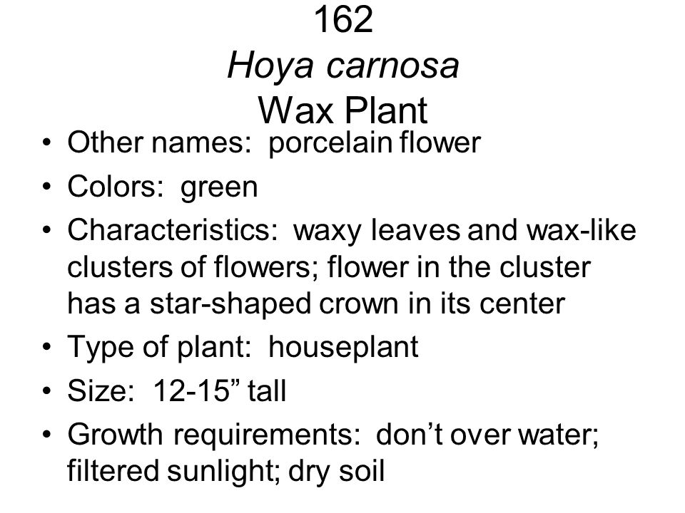 162 Hoya carnosa Wax Plant Other names: porcelain flower Colors: green