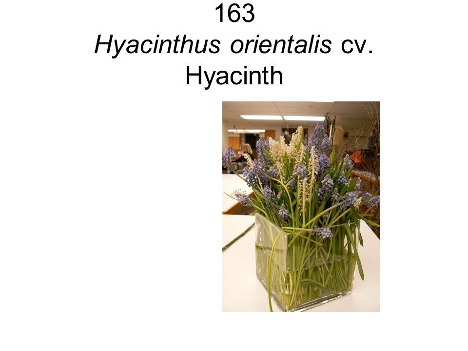 163 Hyacinthus orientalis cv. Hyacinth